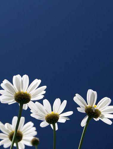 Daisies  --  by regina_austria