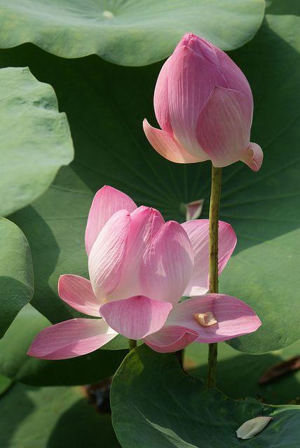 lotus and bud