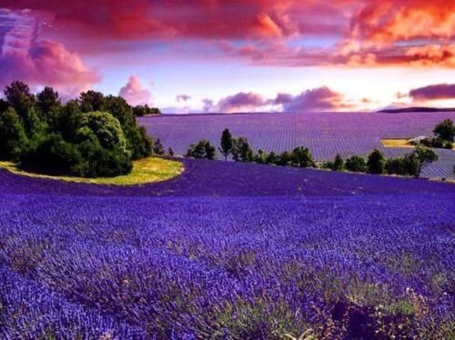 Beautiful Lavender fields in France