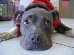 Ulrika is an adoptable Pit Bull Terrier Dog in Boulder, CO. Ulrika along with her mate wondered in one of our volunteers garage. She had recently puppies and probably they were taken away to be sold ...