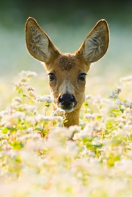 Deer in flower field