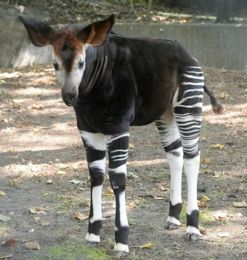 It's a zebra, no, it's a deer.... NO, it's an Okapi.