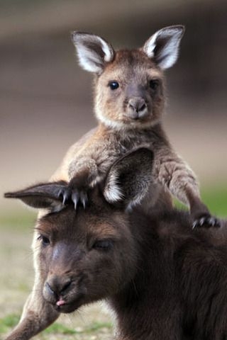 Baby Wallaby and mother