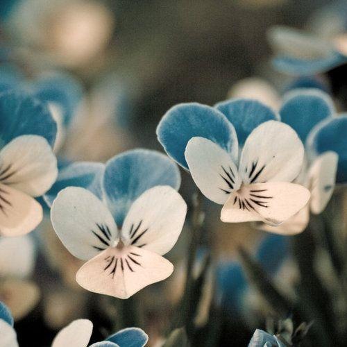 blue & white violas