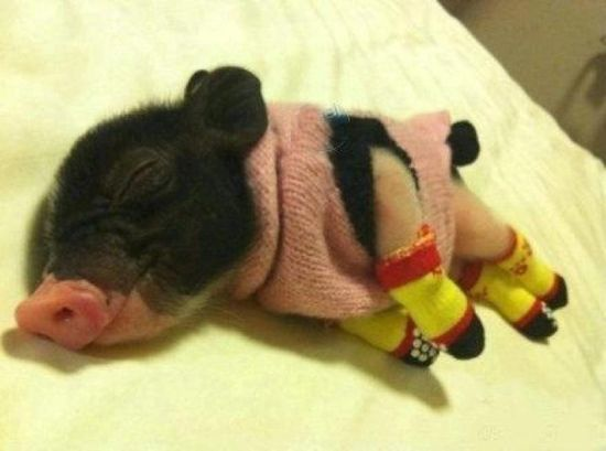 A tiny pig wearing a sweater and legwarmers