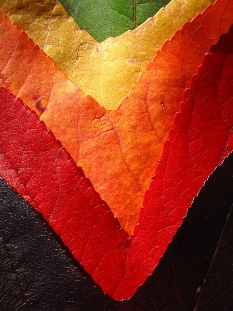 Liquidambar tree leaves through the seasons.
