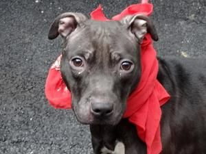 #NEWYORK #URGENT ~ JANET is an #adoptable Pit Bull Terrier Dog in #Manhattan. A volunteer writes: Janet is a tiny speckle of a dog, as black as charcoal, all eyes on things and people around her and ready to go.  Meet & #adopt her at MANHATTAN ANIMAL CARE CENTER  326 East 110th Street  New York, NY 10029 ph (212) 788-4000