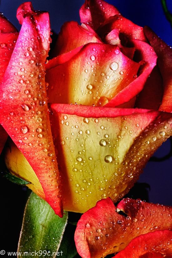 Red/yellow rose