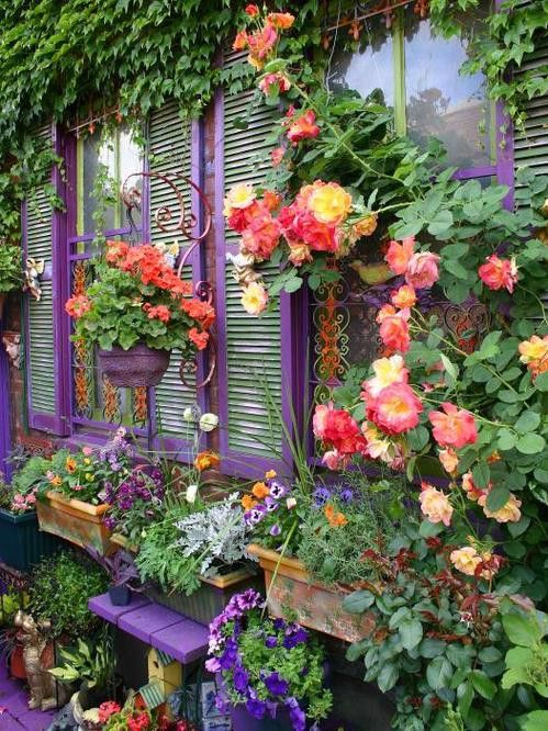 purple windows, climbing Jacob's Coat rose, garden flowers~oh my!