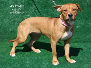Adoptable Fridays: Meet Artemis! Artemis is an adoptable Boxer Dog in Hanford, CA. To find out more about Artemis, click here! #pets #dogs #animals #fcpets #fcadoptablefridays