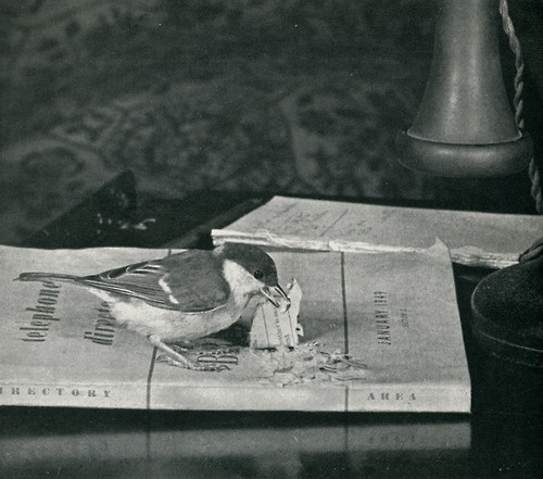 Great Tit tearing a telephone directory, July 1950, From Birds as Individuals by Len Howard, 1952