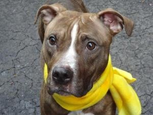 WRIGHT is an adoptable Pit Bull Terrier Dog in New York, NY.  ...