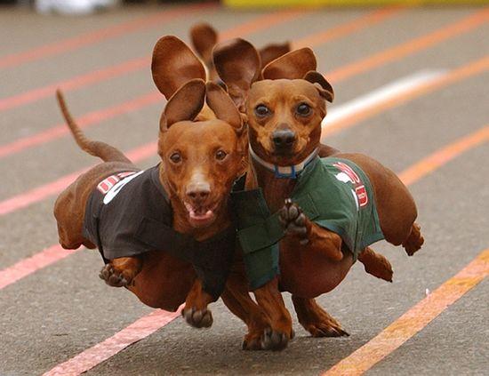 wiener dogs go!