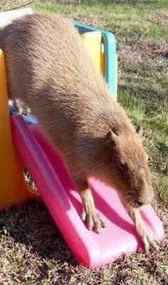 Cute Pet Caplin Rous Capybara Going Down The Slide