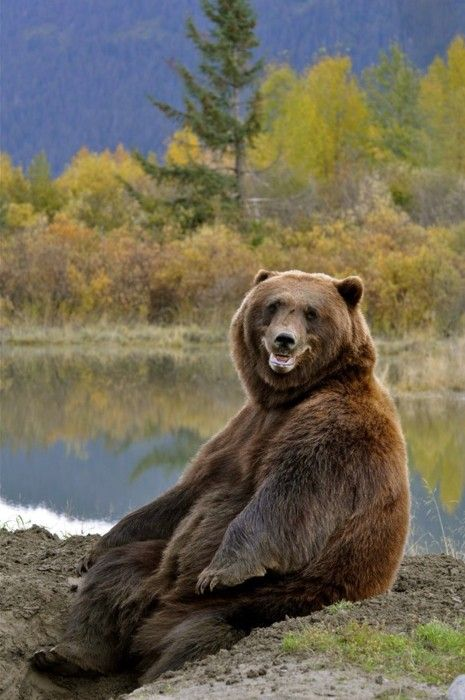 Sometimes bears have the funniest pose. - Grizzly Bear
