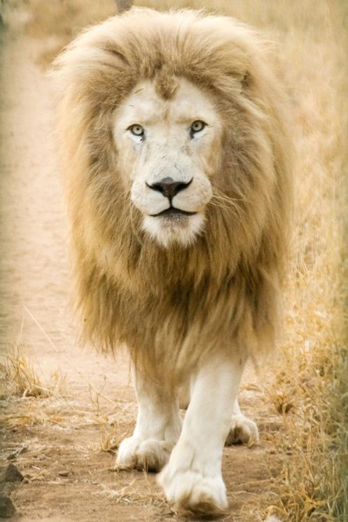 lion wild #animals