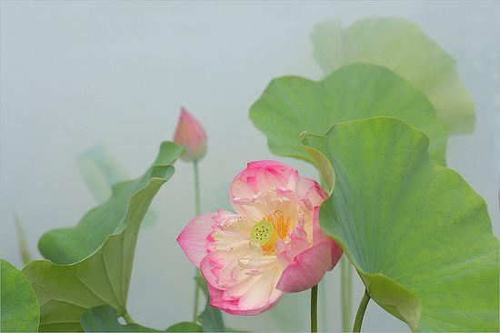 Lotus Flower: DD0A0034-1-1000 by Bahman Farzad, via Flickr