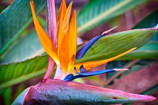 Bird of Paradise Flower, via Flickr.