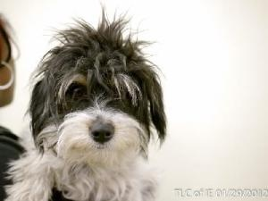 20120129F is an adoptable Cocker Spaniel Dog in Moreno Valley, CA. Let's be BFF! ......OMG SOMEONE ADOPT THIS BABY NOW!