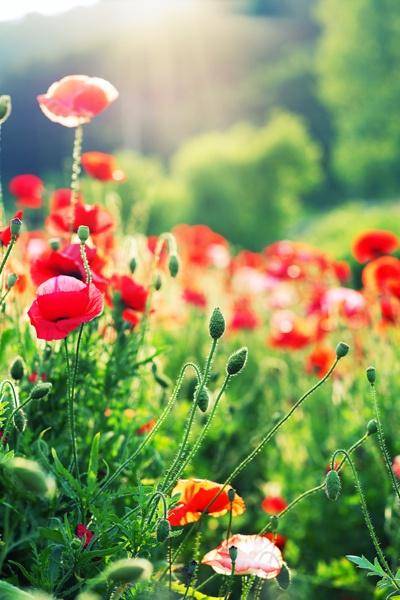 poppies ?