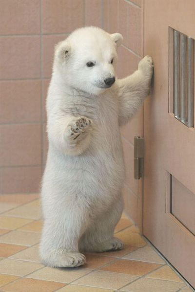 Laura- om gosh it's a baby polar bear these are my favorite bears they are so pretty I wish I could have one but they get big and then they get mean