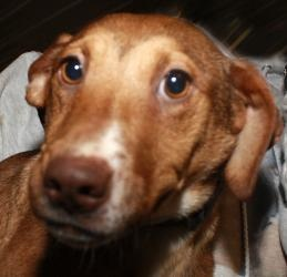 Vixen is an #adoptable Vizsla Dog in Fort #Madison, #IOWA.  ...