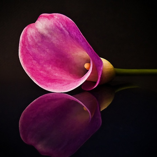 calla lily reflection