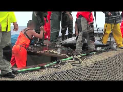 Animal Equality Documents the Brutal Slaughter of Tuna in Italy. Act Now!  By Free From Harm Staff Writers