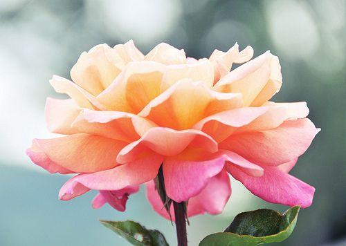 Sunset rose #pink #flowers #roses #orange