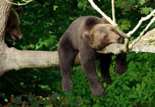 A real life Sleepytime Bear?! #celestialtea