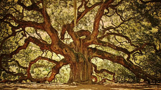 Oak trees are amazing