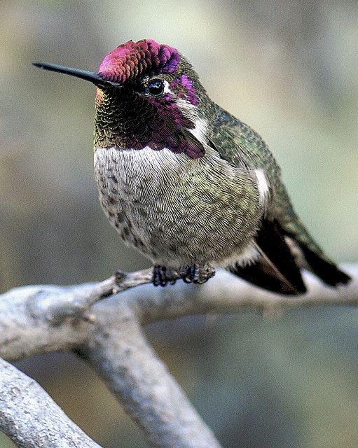 ? Beautiful Costa Hummingbird ?