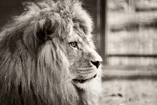 Lion Dusk Safari Port Lympne Wild Animal Park - Rebecca Douglas Photography