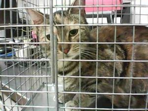 CALLIOPE is an adoptable Domestic Short Hair Cat in Martinez, CA.  ...