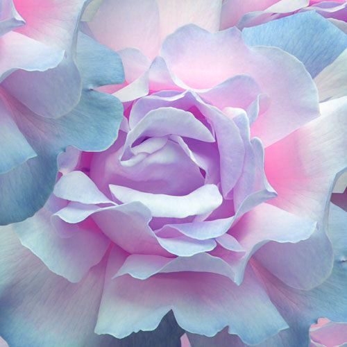 Cotton candy coloured flowers