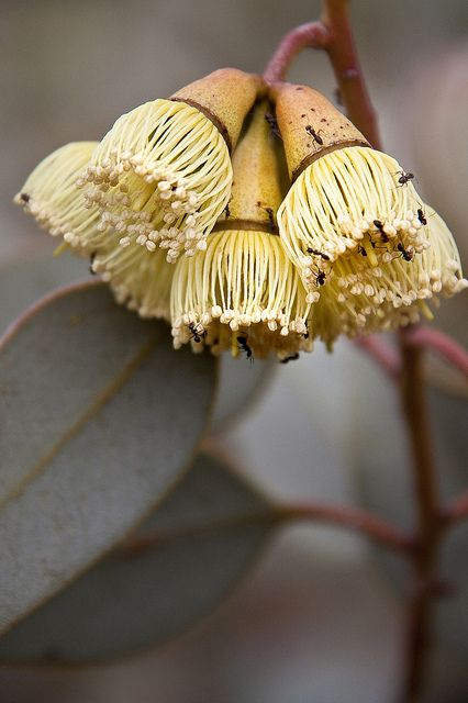 Eucalyptus flower with ants  - by Georgie Sharp