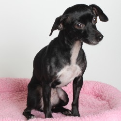 10976_Yoko is an adoptable Chihuahua Dog in Oakland, CA.  Yoko is id #10976 at the Oakland Animal Shelter . All animals are listed as spayed/neutered, even if they currently are not, since they will ...
