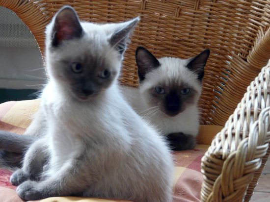 Siamese baby cats