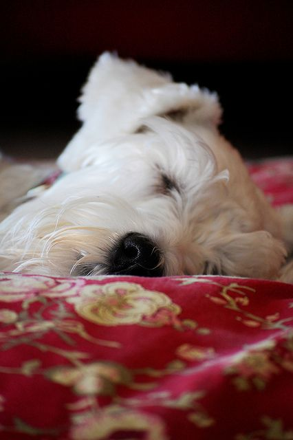 Napping Yuki by Melissa Heard #Miniature #Schnauzer