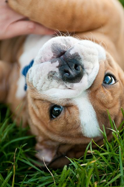 Ultra cute from absolutely any angle! :) #cute #dogs #puppies #bulldog #English #pets #animals