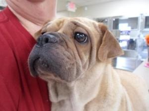 Porky is an adoptable Shar Pei Dog in Nacogdoches, TX.  If you call the shelter, asking for an animal by their ID number will help the shelter staff find information about this particular pet....