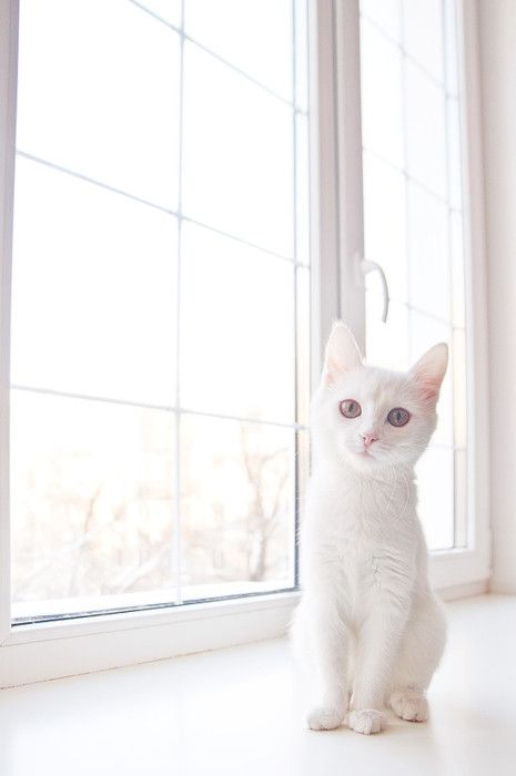 So angelically pretty. #white #sunlight #cat #kitty #kitten #cute #pets #animals