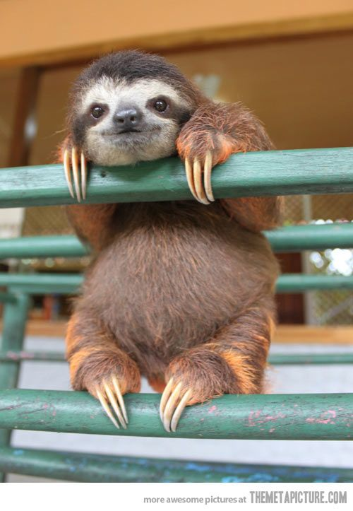 Ridiculously photogenic baby sloth…
