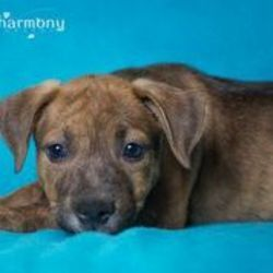 Cutie Patootie is an adoptable Shepherd Dog in Phoenix, AZ. Cutie Patootie was found as just a small puppy running through the desert all by herself on the Fort McDowell Reservation. She is lucky the ...Please click on pic for additional info on this fur baby ????????????????????????????????