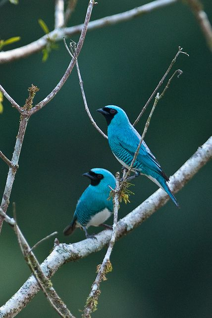 Swallow Tanagers by sjdavies1969, via Flickr