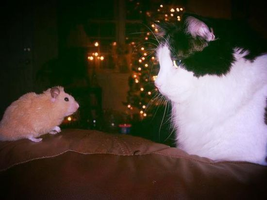 This cat and hamster are practicing the 'peace' part of peace and joy this holiday.