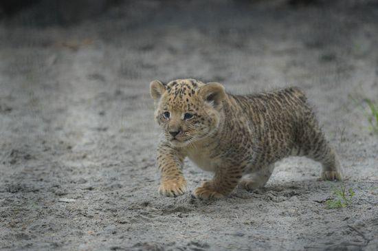 Liliger Cubs Born At Russia's Novosibirsk Zoo (PHOTOS)
