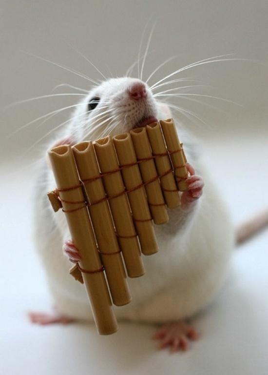 musician rat