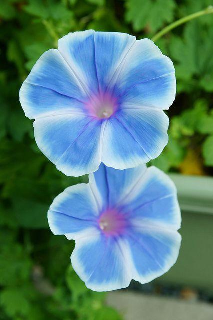 Morning Glory - September flower