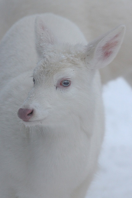 """wild albino whitetail fawn ~ """"A Real Snow Angel"""" ~ soft & beautiful"""